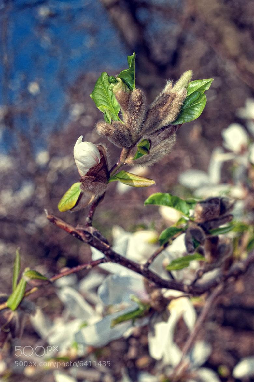 Photograph Magnolia by Svyatoslav Isaenko on 500px