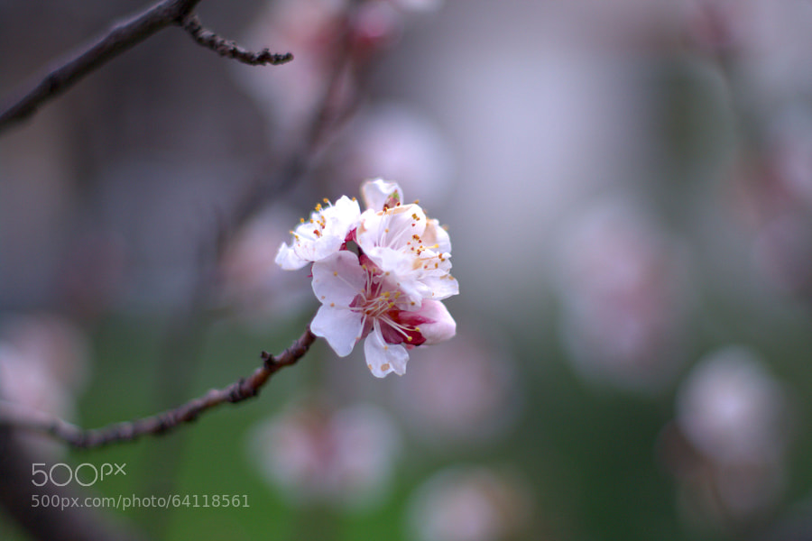 Photograph cherry blossom by Selim Özköse on 500px