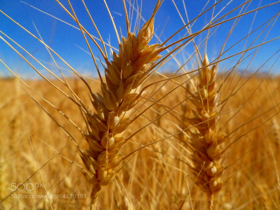 Photograph Wheat by Jean Crawford Evans on 500px