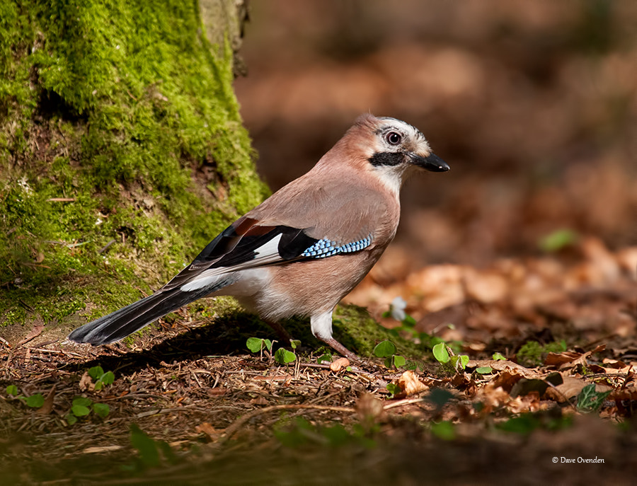 Photograph Jay by Dave Ovenden on 500px