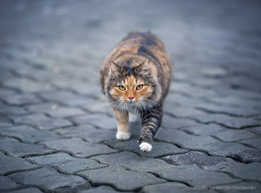 Photograph I'm a serious cat by sergei gladyshev on 500px