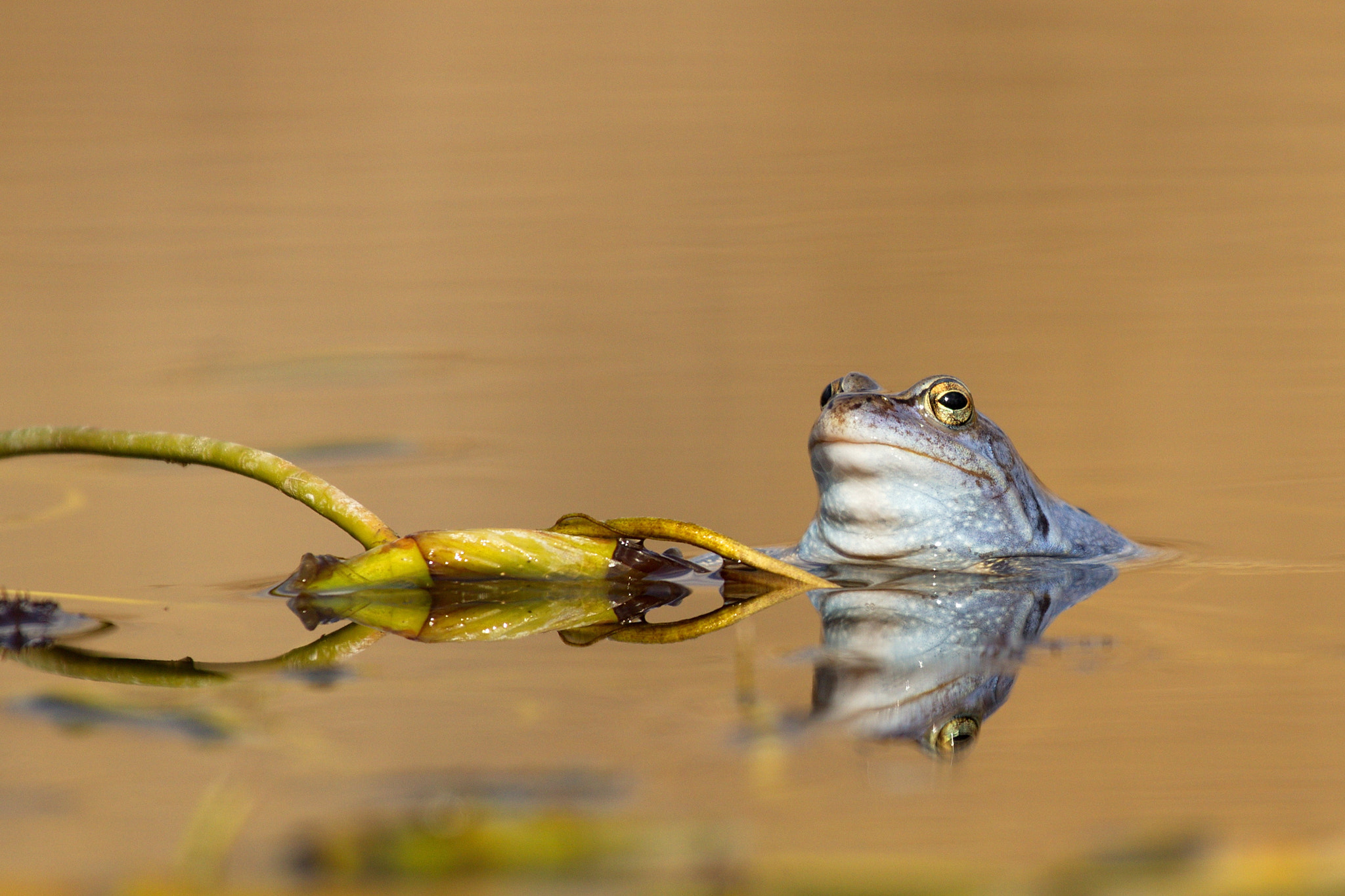 Photograph Moor frog by Bernard Stam on 500px