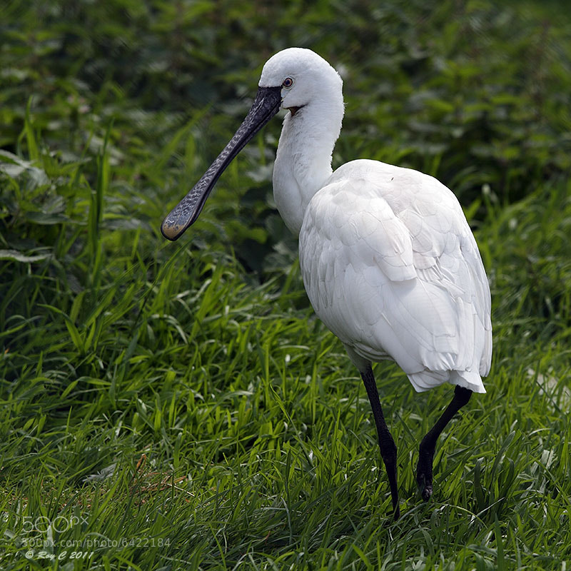 Photograph Spoonbill by Roy Churchill on 500px
