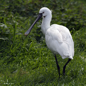 Spoonbill by Roy Churchill (Roy_C)) on 500px.com