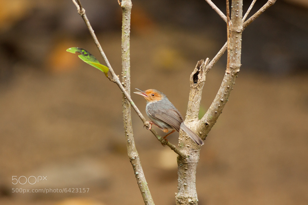 Photograph Ashy Tailorbird by Wang Wen on 500px