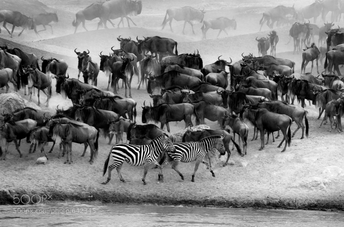 Photograph Zebras by Rahul Matthan on 500px