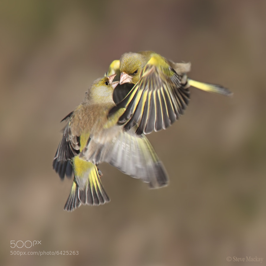 Photograph Greenfinches Fighting by Steve Mackay on 500px