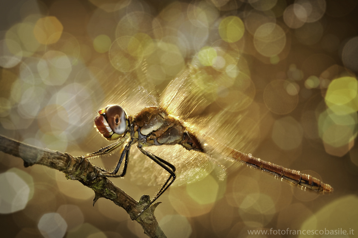Photograph dragonfly in the flare by Basile Francesco on 500px