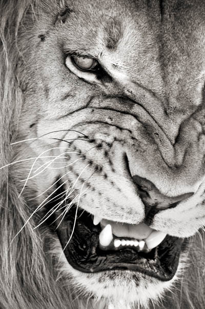 Photograph Agressive Lion by Frikkie Kapp on 500px