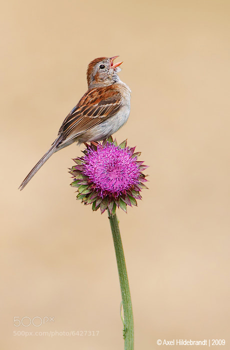 Photograph Field Sparrow on Thistle by Axel Hildebrandt on 500px