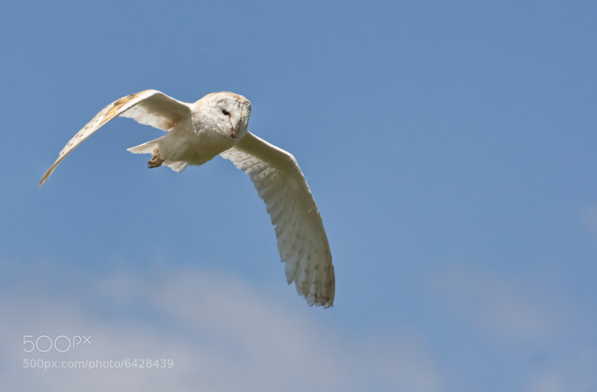Photograph Barn Owl in Flight by Val Saxby on 500px