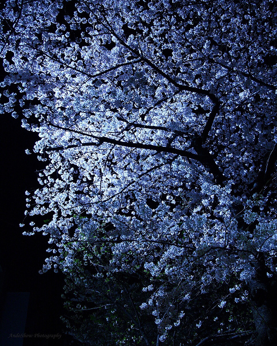 "Photograph ""SAKURA"" at night… by AndoShow  on 500px"