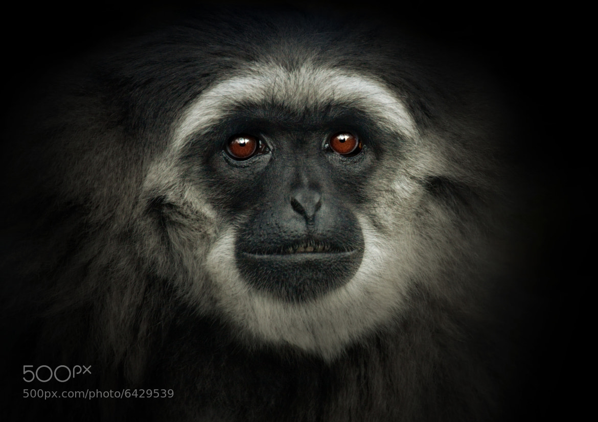 Photograph Silvery Gibbon by Natalie Manuel on 500px
