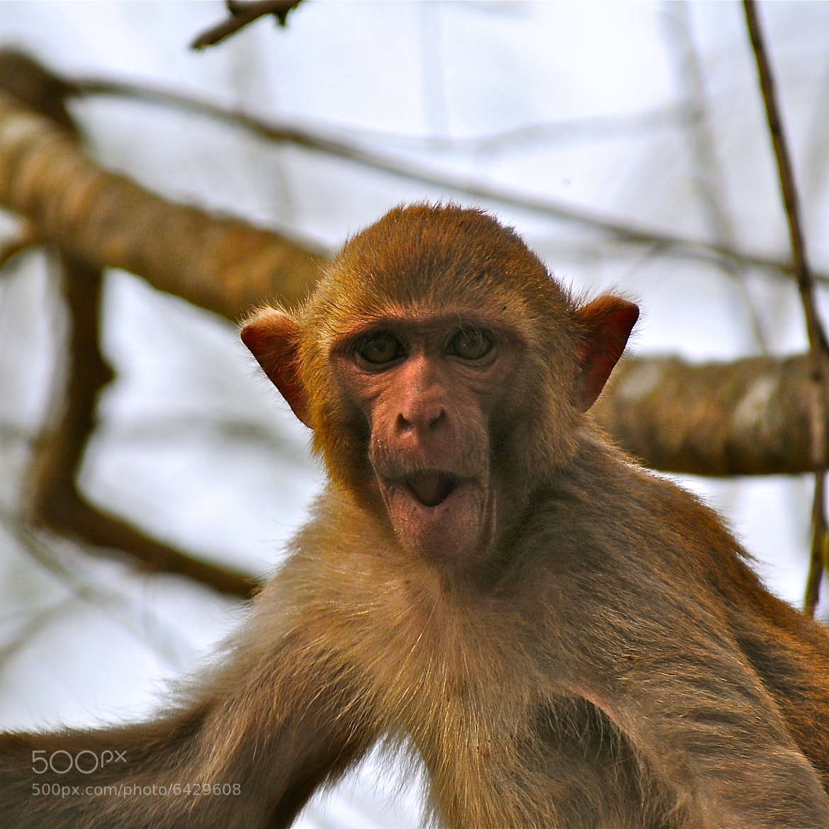 Photograph Rhesus macaque by Hermes S on 500px