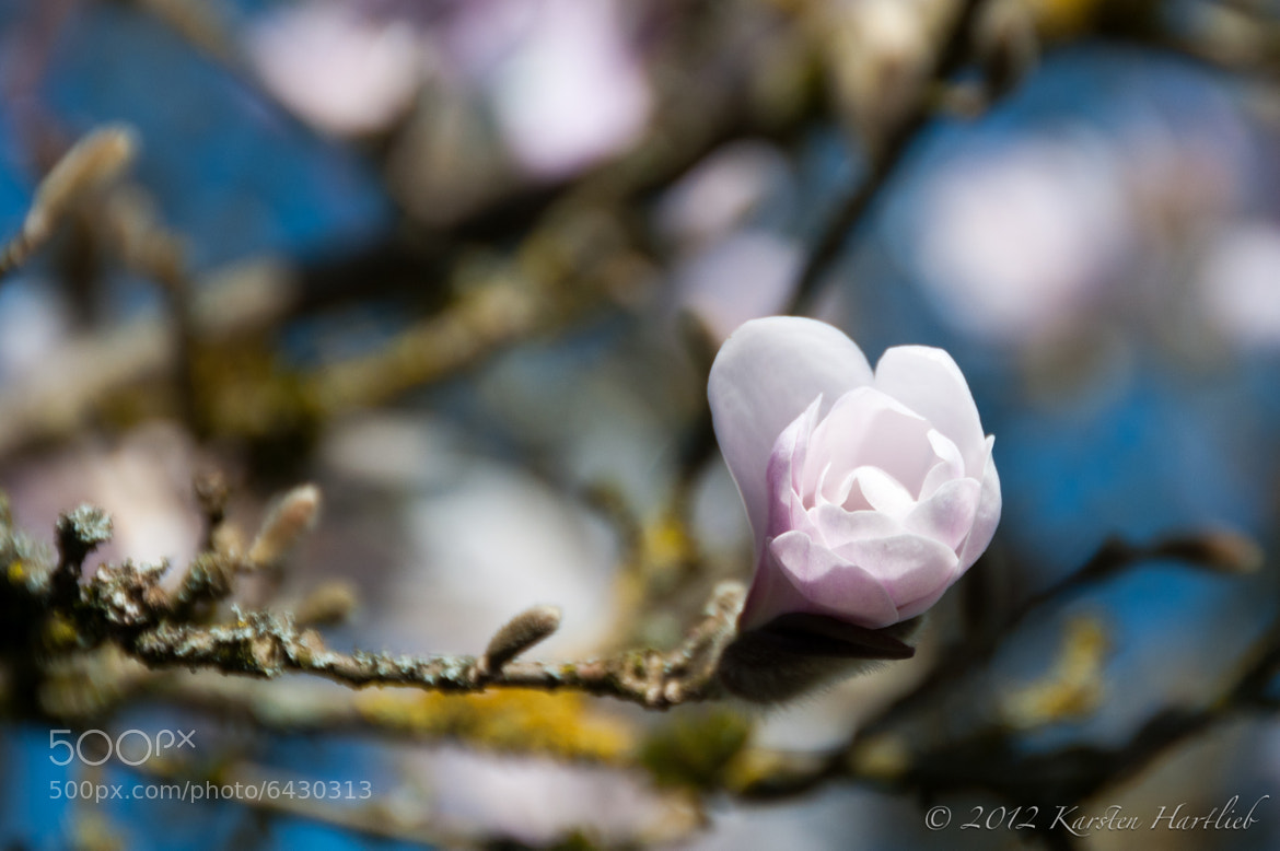 Photograph Magnoliaceae by Karsten Hartlieb on 500px