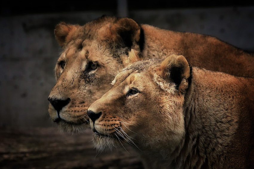Photograph Lion Twins by Johnny Brambach on 500px