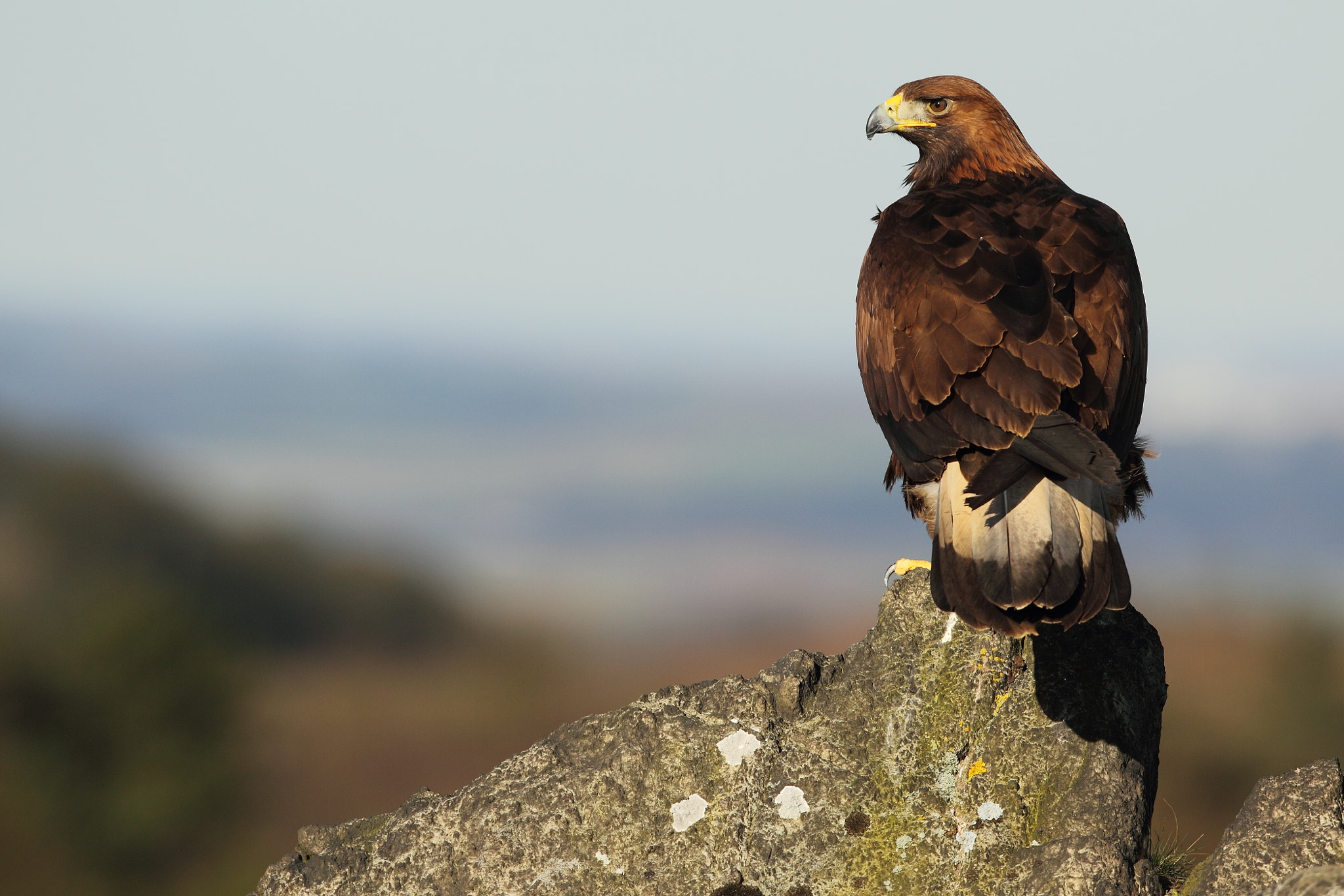 Photograph Golden Eagle - Apex Predator by John Betts on 500px