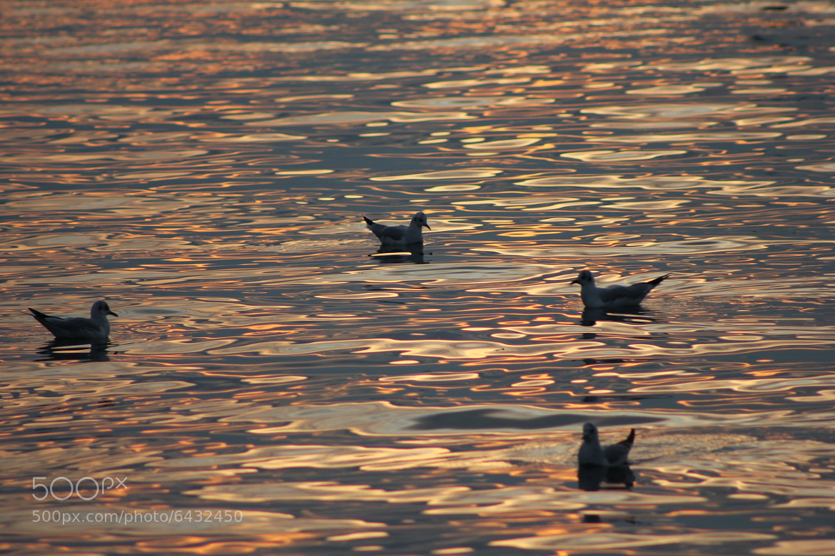 Photograph Birds in Lake  by Kannan Swaminathan on 500px