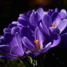 Постер, плакат: Purple crocuses on a spring day