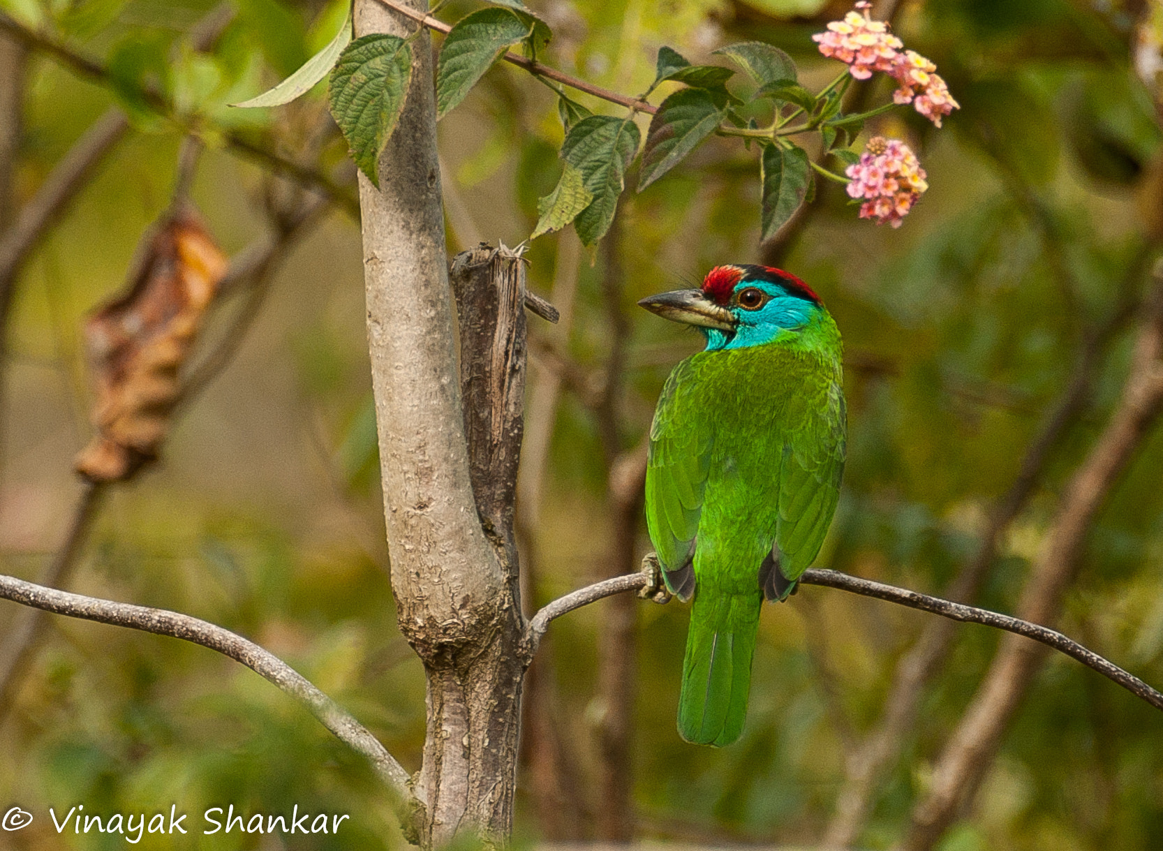 Photograph Blue Throated Barbet - Corbett National Park, India by Vinayak Shankar on 500px