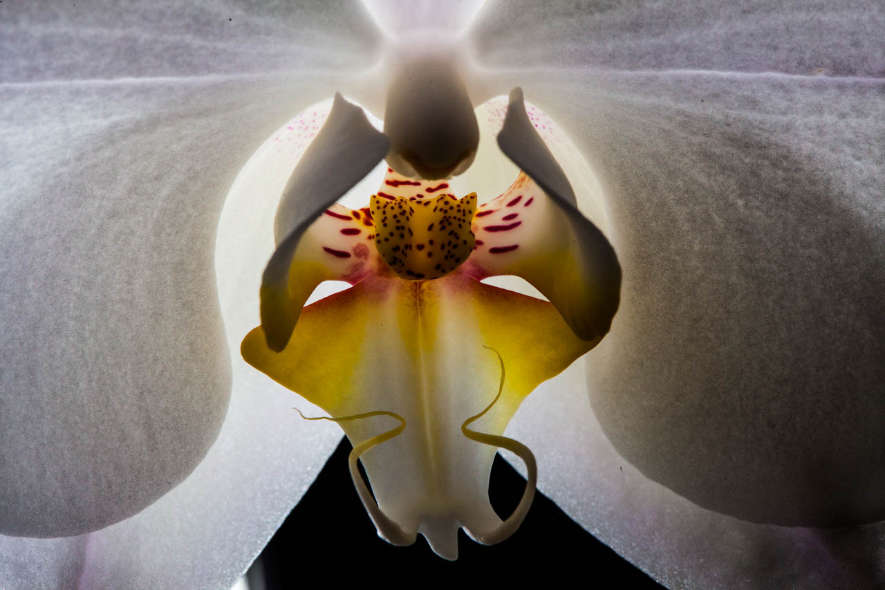 Photograph Backlit orchid by Jon Leirdal on 500px