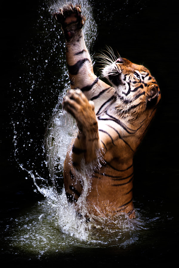 tiger in water by Ivan Lee on 500px.com