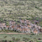 Постер, плакат: A herd of eland on the move