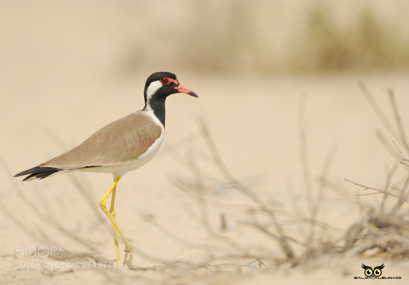 Photograph Red-wattled Plover by Salma  AlSuwaidi on 500px