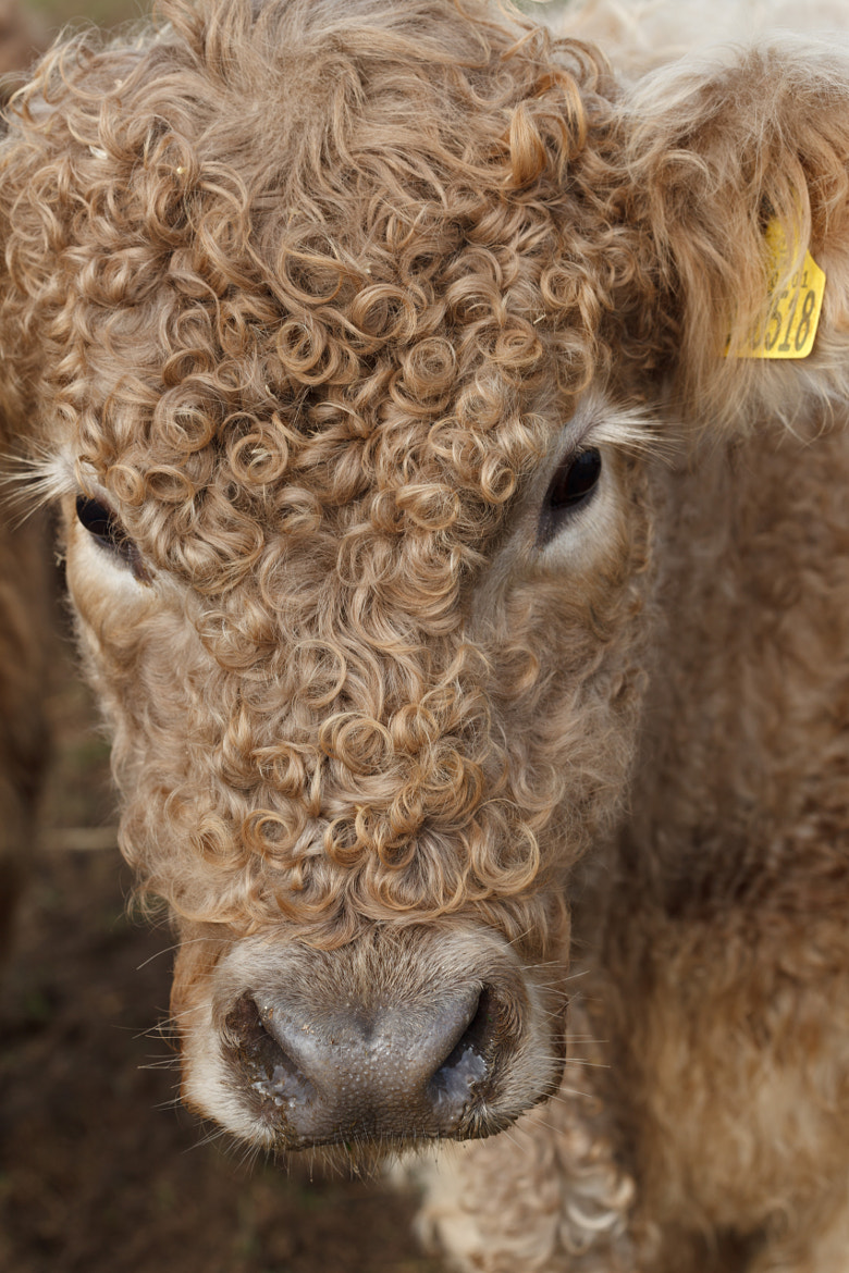 Photograph Galloway Cow by Paul Holtom on 500px