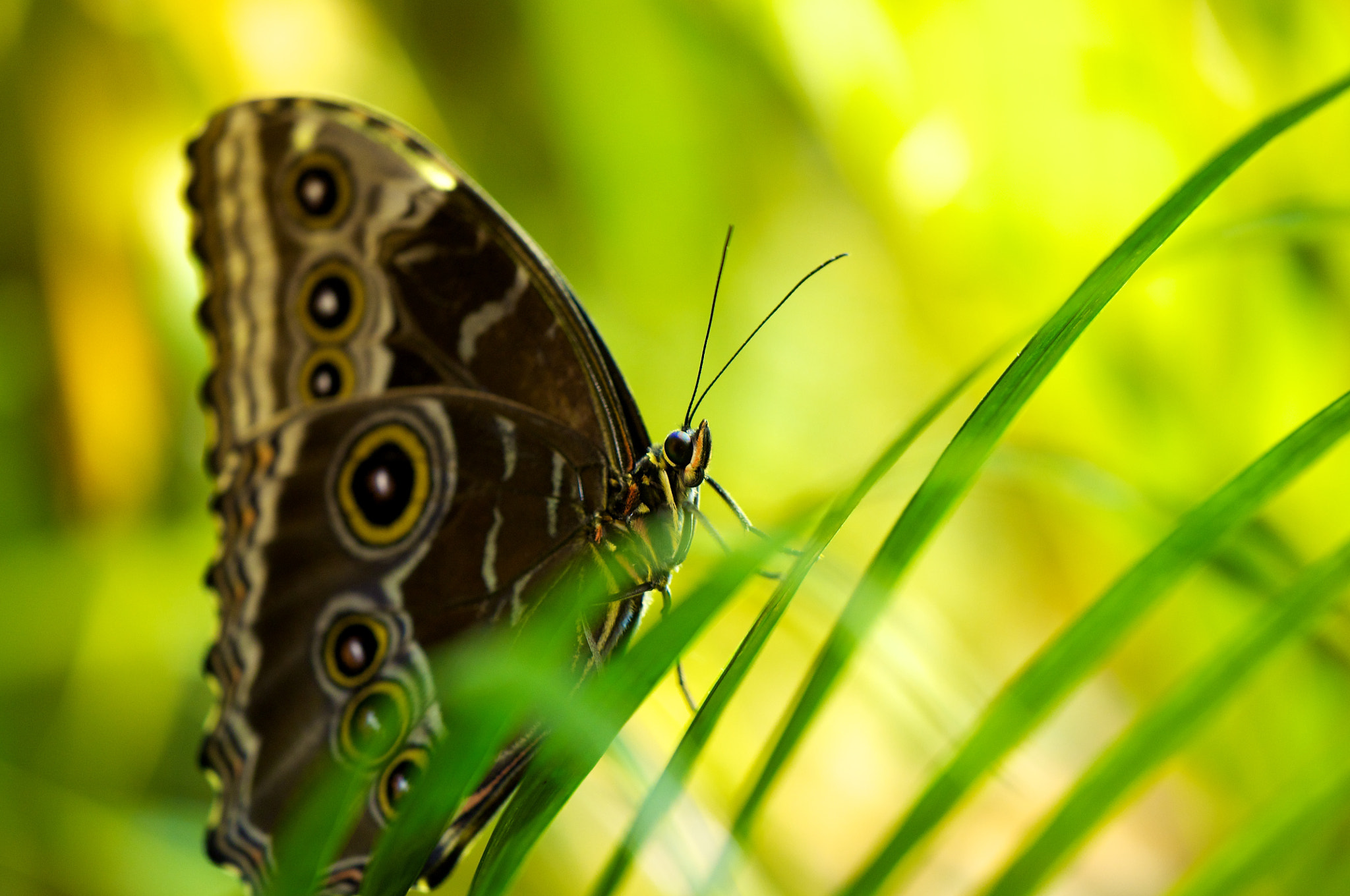 Photograph Blue Morpho by Kelly Eagan on 500px