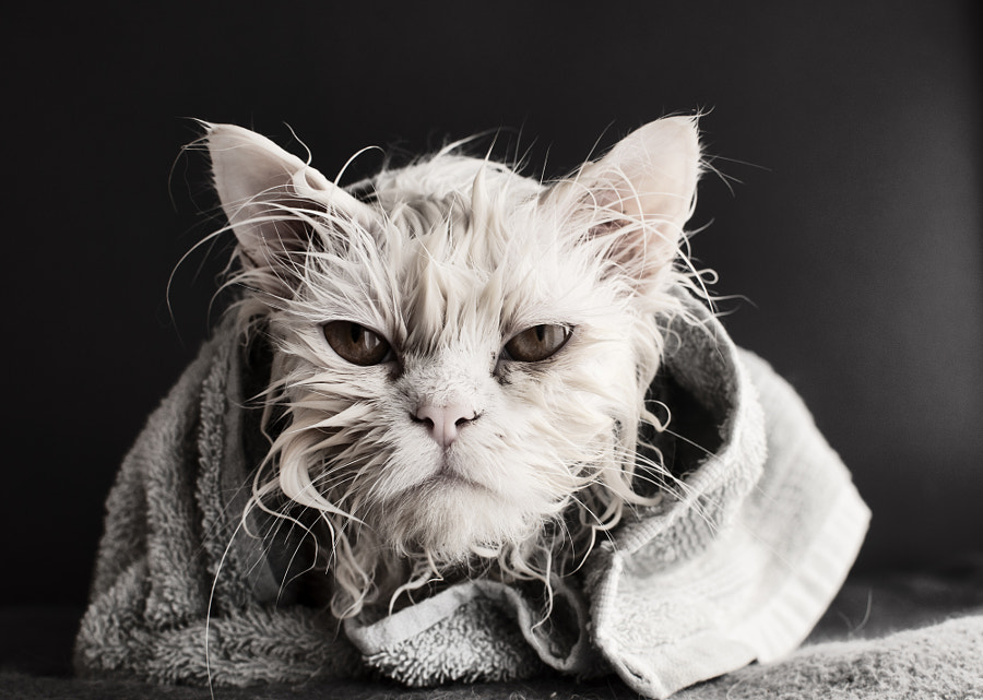 Cat after a bath by Dusica Paripovic on 500px.com