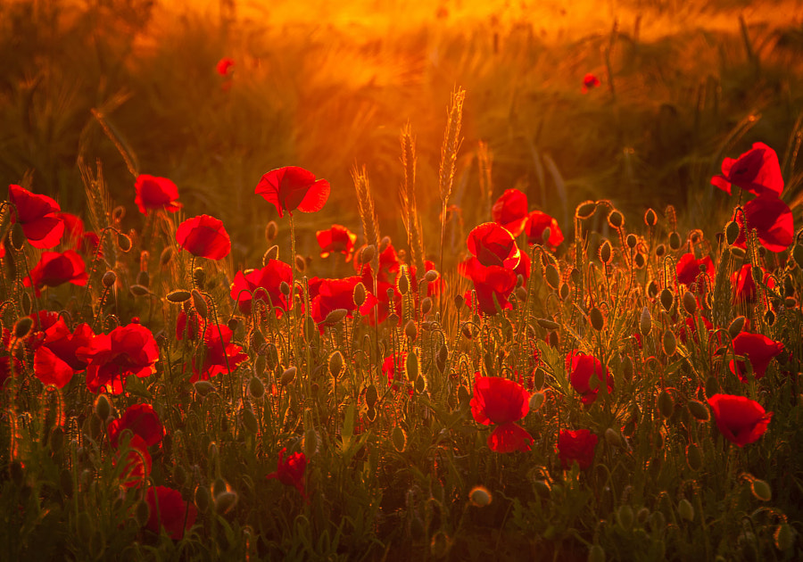 Poppys by Steffen Gierok on 500px