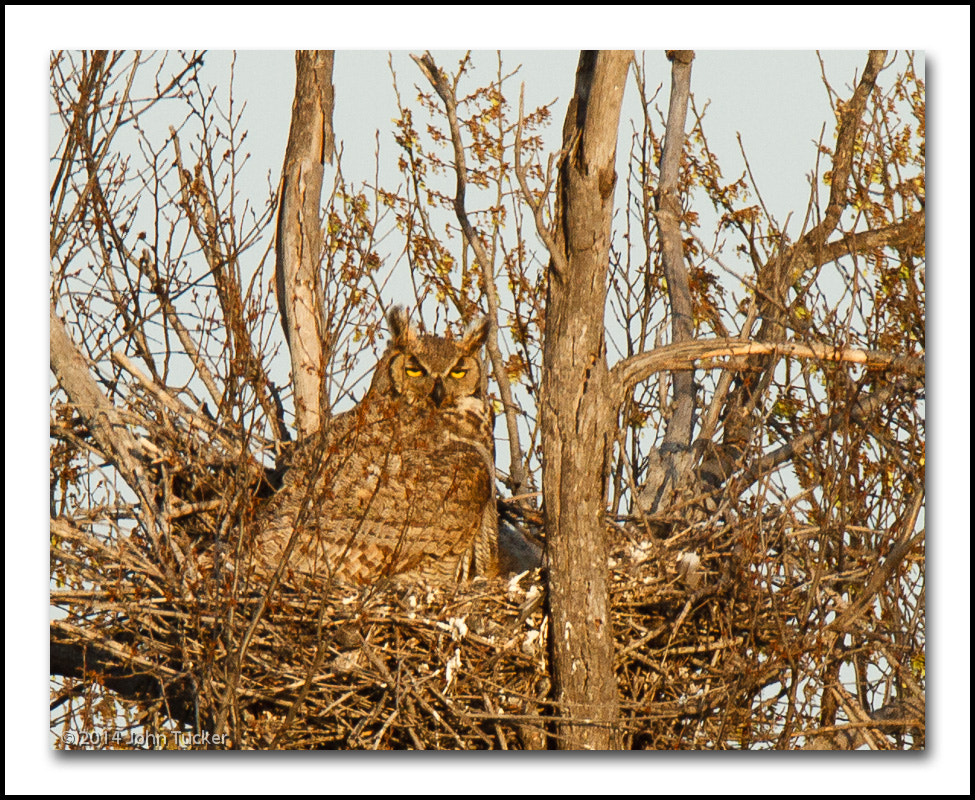 Photograph Great Horned Owl by John Tucker on 500px
