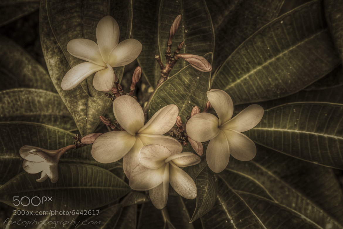 Photograph Plumeria by Fernando De Oliveira on 500px