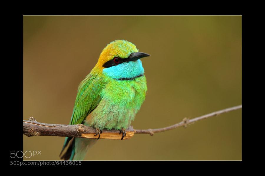 Lettle Green Bee-eater