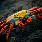 Постер, плакат: Sally Lightfoot Crab