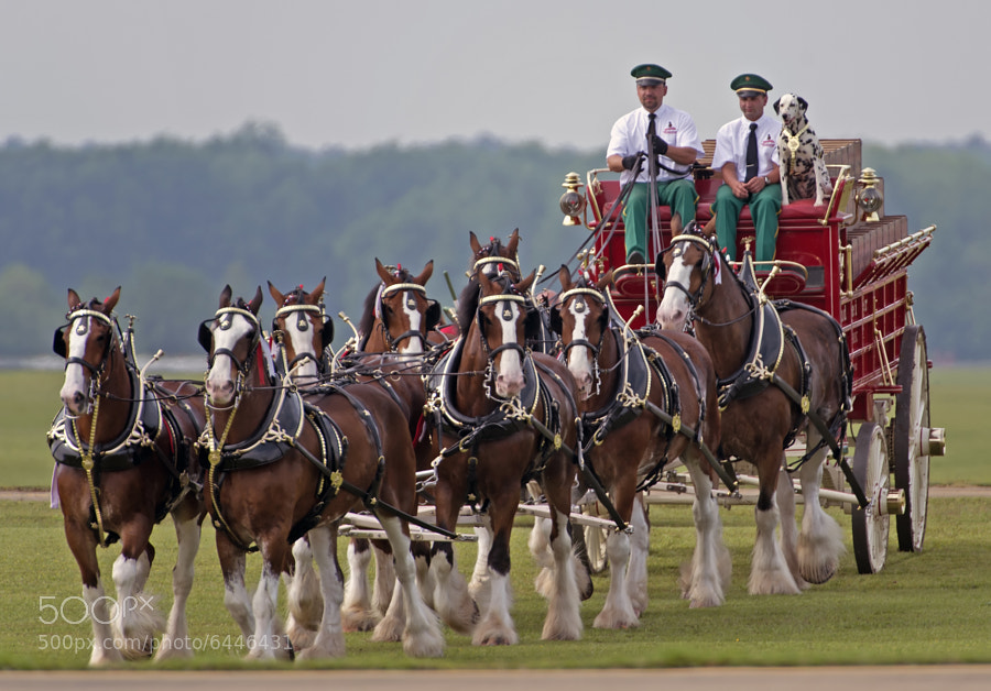 The world famous Budweiser Clydesdale horse team
