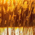 Постер, плакат: Amber Waves of Grain