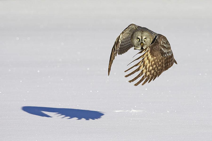 Great Grey Owl with shadow by Jari Peltomäki on 500px.com