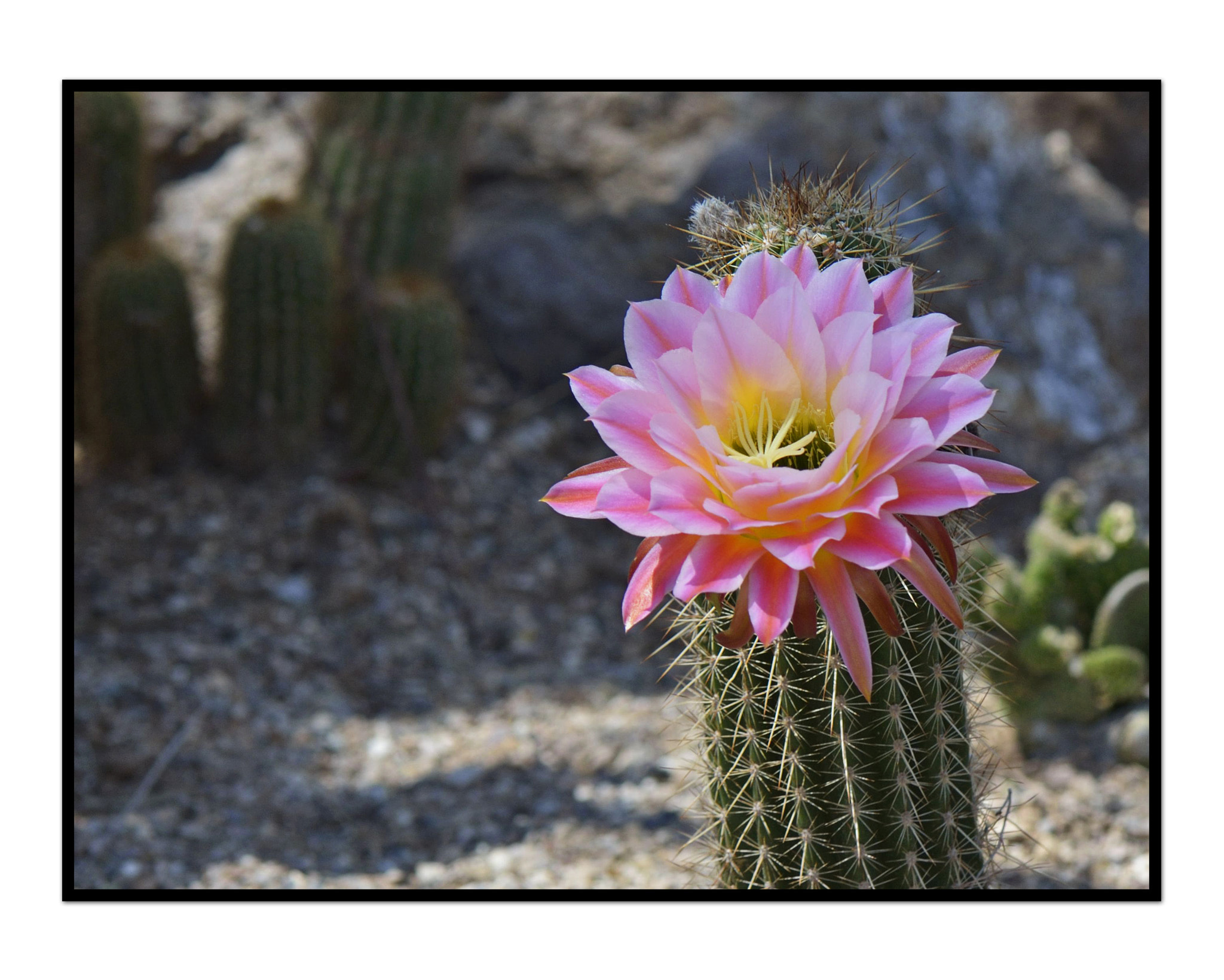 Photograph Cactus bloom by Angella Parker on 500px
