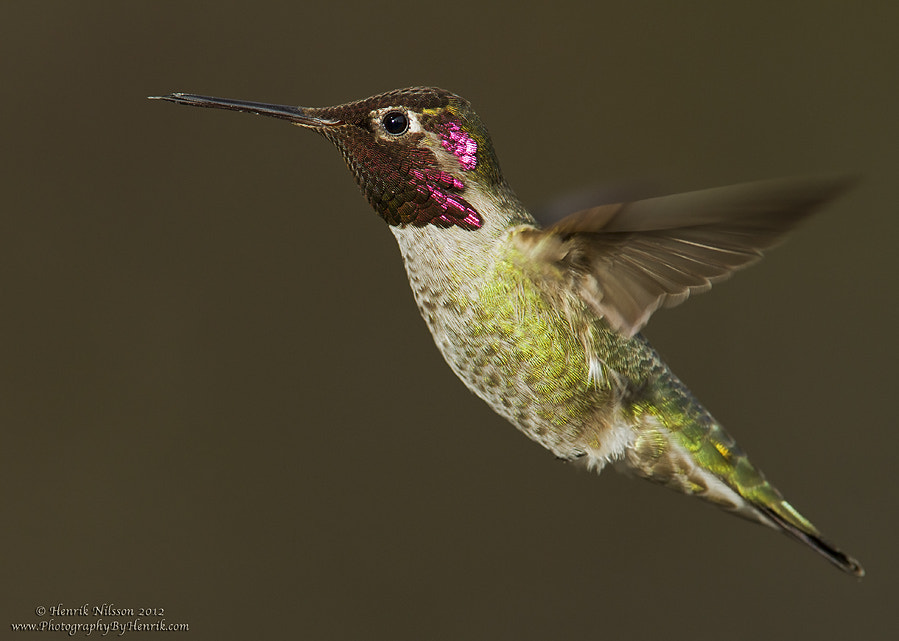 Photograph Hovering Hummer by Henrik Nilsson on 500px