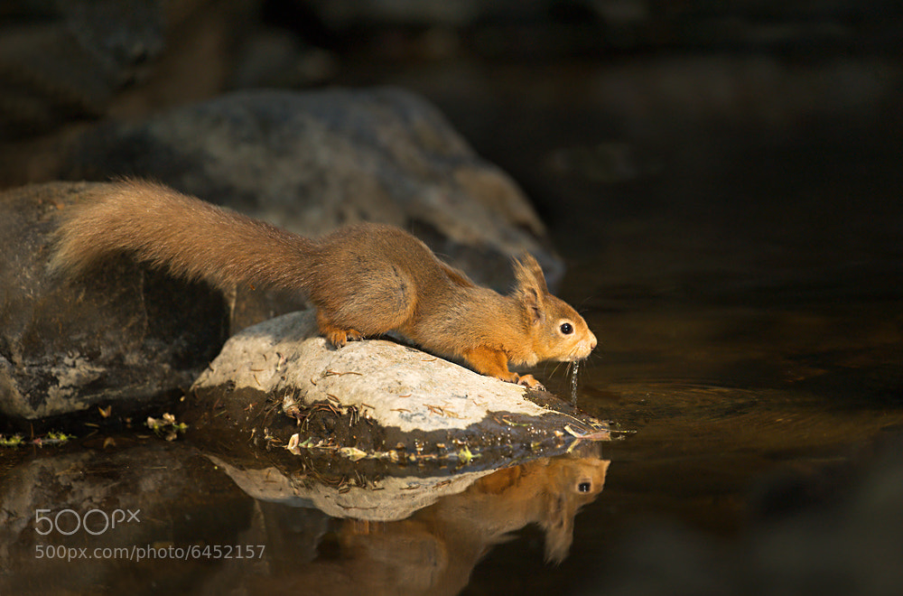 Photograph Red squirrel drinking by Mark Davies on 500px