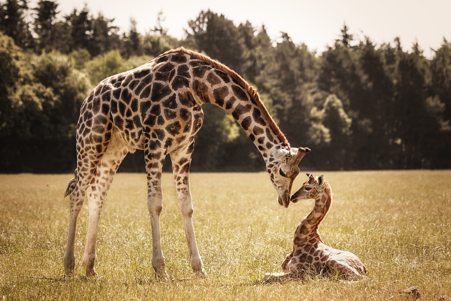 Giraffen by Nadine Volz on 500px.com