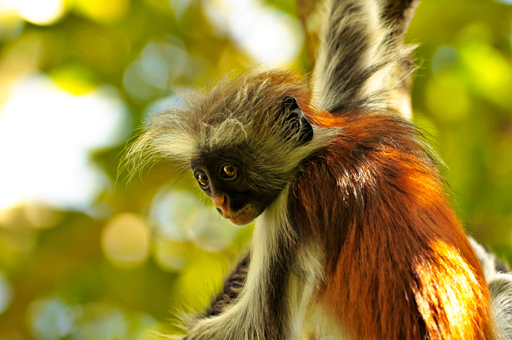 Photograph red colobus by Anna Trandeva on 500px
