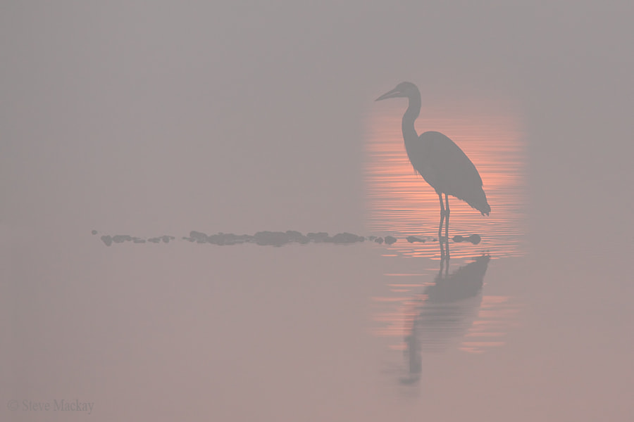 Photograph Heron in the Fog by Steve Mackay on 500px