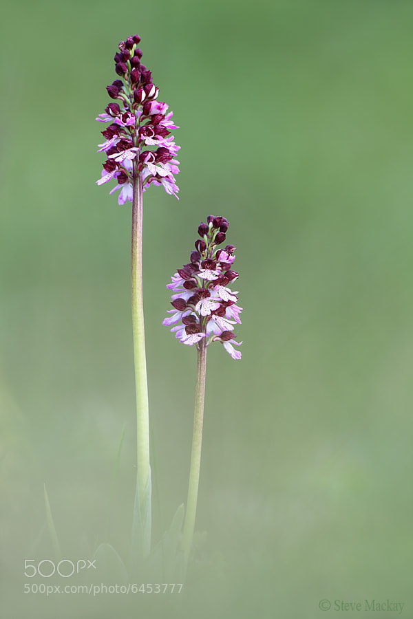 Photograph Lady Orchids by Steve Mackay on 500px