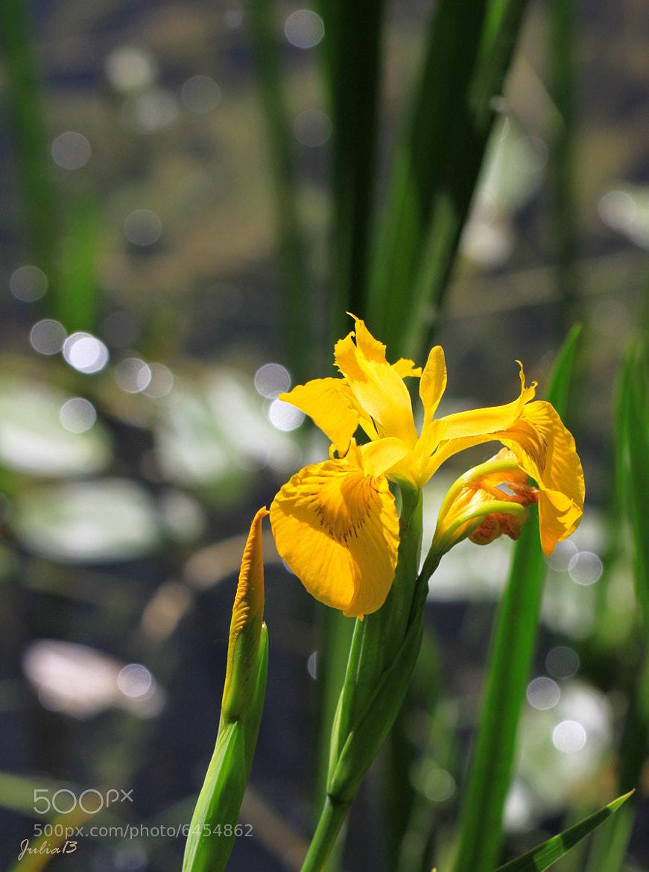Photograph Iris by Julia Soloviova on 500px
