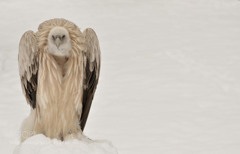 Photograph vulture  by Vladislav  Šrajbr on 500px