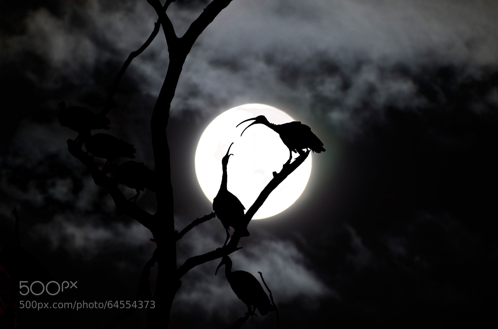 Photograph IBIS WITH MOON by KVlion Photo's on 500px