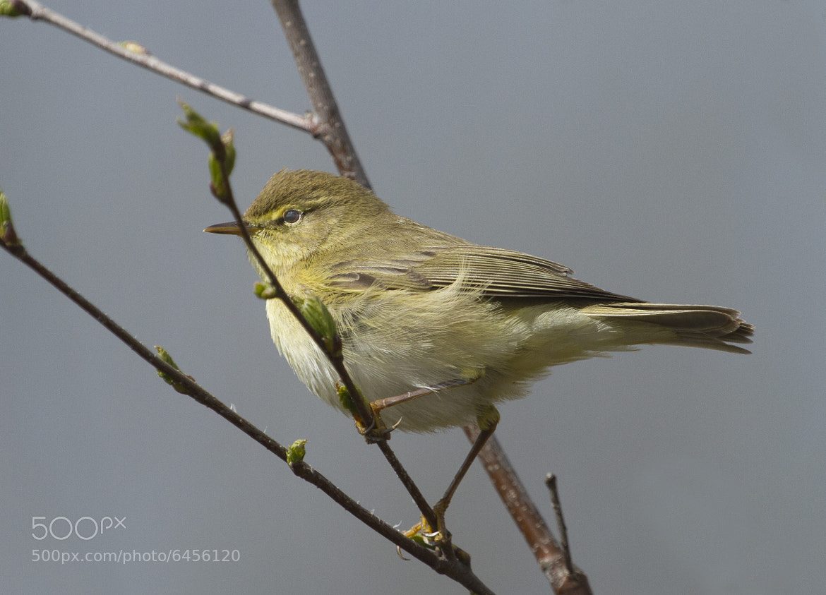 Photograph Willow Warbler by Richard Bond on 500px